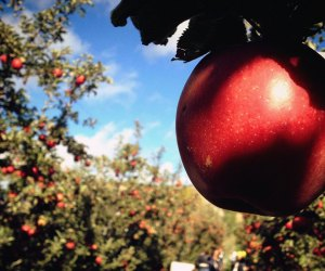 Jonagolds are one of many apple varieties available for picking in Westchester and Hudson Valley orchards. Photo by Leslie Seaton via Flickr