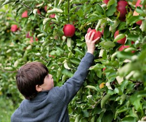 Best Places To Go Apple Picking With Kids Near Boston