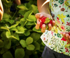 Strawberry picking at Bishop's Orchard in Connecticut makes for a sweet day trip. Photo courtesy of the farm