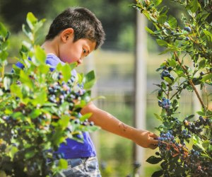 Blueberry picking. Photo courtesy of Bishop's Orchards