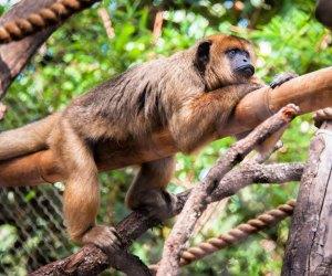 Howler monkey. Photo courtesy of Houston Zoo