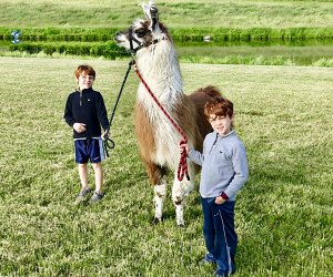 Kids can go on a hike with the alpacas at Clover Brooke Farm. Photo courtesy of the farm