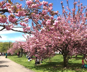 The blooms will be gorgeous this spring for the 2020 Essex County Cherry Blossom Festival. Photo by Rose Gordon Sala