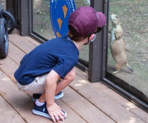 a boy and a prairie dog at the Children's zoo and the Bronx zoo nyc staycation