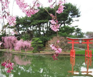 Cherry Blossom and pond at the Brooklyn Botanic Gardens nyc staycation