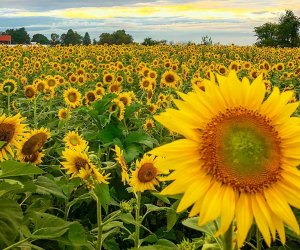Enjoy all sorts of sunflower fun at Butler's Orchard. Photo courtesy of the orchard