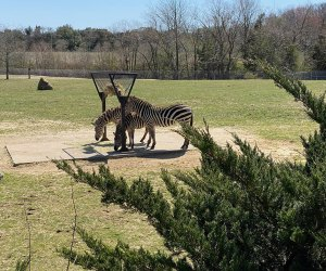 zebras at the Cape May Zoo