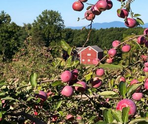 For the best apple picking this season visit Cedar Heights Orchards.  Photo courtesy of the orchard