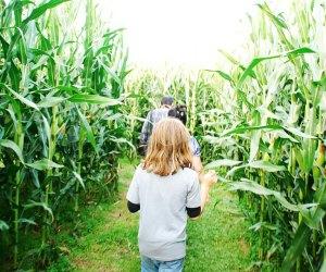 A family explores the corn maze at Alstede Farms