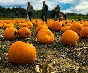Field of pumpkins at Decker Farms