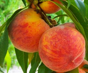 Pick big juicy peaches at Demarest Farms in New Jersey.