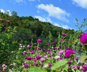 Purple-hued flowers in a pick your own field at The Cutting Garden