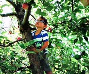 Boy climbs a tree during an apple picking trip