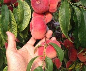 Peaches at DuBois Farms