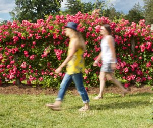 Elizabeth Park Rose Gardens will be in full bloom for family walks. Photo courtesy of Connecticut Office of Tourism