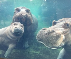 Meet Fiona the famous hippo and her mom and dad at the Cincinnati Zoo. Photo courtesy of the zoo