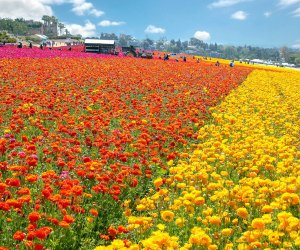 Photo courtesy of The Flower Fields of Carlsbad