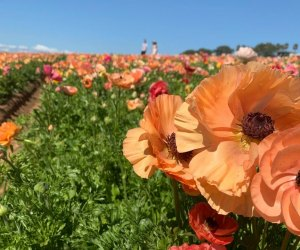 Here's where you can see poppies! Photo courtesy of The Flower Fields at Carlsbad Ranch