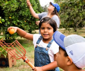 Picking fruit with Food Forward