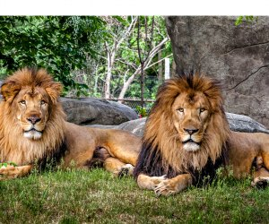 Franklin Park Zoo celebrates lion weekend - visit the Kalahari Kingdom to see the African lion brothers, Dinari & Kamaia. Photo courtesy of Zoo New England