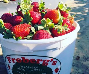 Fill your Froberg Bucket with pick your own strawberries. Photo courtesy of the farm