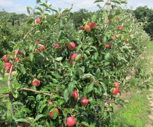 Giamarese Farm offers apple picking from August through Columbus Day