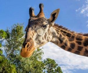 Giraffes in Orlando? You bet.