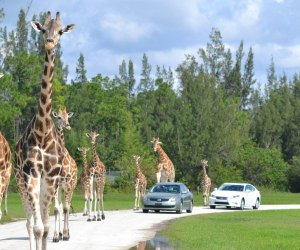 """Enjoy the """"residents"""" of Lion Country Safari from a safe distance. Photo courtesy of Lion Country"""