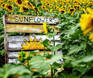 Pick a bunch of beautiful sunflowers at Happy Day Farm.