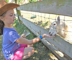 Girl feeds a sheep at Harbes Family Farm