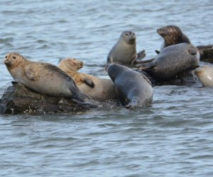 Long Island's coastal waters are a favorite hangout for harbor seals starting around November and lasting until about May. Photo by Xylia Serafy