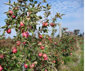 Apple picking is a fall favorite for families. Photo courtesy of Homestead Farm