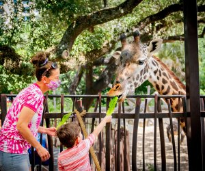 Feed your long-necked friends at the Houston Zoo. Photo courtesy of the zoo