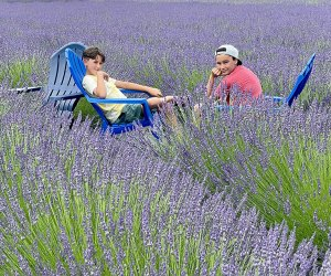For three weeks, Lavender By the Bay lends a regal hue to the normally green North Fork of Long Island.