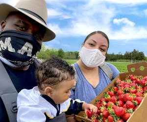 Pick baskets full of strawberries at Johnson's Corner Farm.