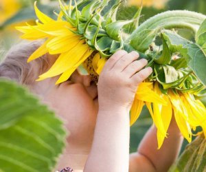 Sunflowers will be ready for picking in early July at Johnson's Locust Hall Farm. Courtesy of the farm