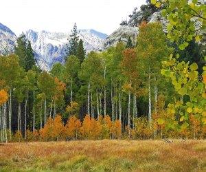 Fall Foliage near Los Angeles: the Aspens by June Lake
