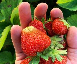 Handful of fresh strswberries