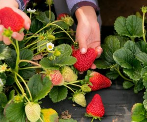 Pick Your Own Strawberries in LA: Kenny's Strawberry Farm
