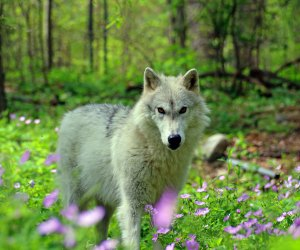 a wolf at the Lakota Preserve in spring