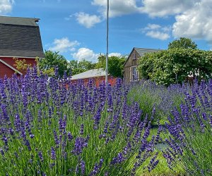 Get lost in the colors at Hidden Valley Lavender Farm.