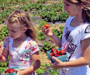 Pick from an abundance of strawberries at Garden of Eve in Riverhead. Photo courtesy of the farm