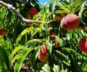 Peaches on trees at Lewin Farms