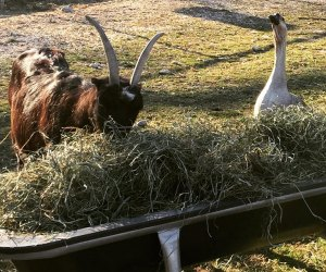 goose and goat eating