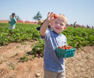 Even little ones love to pick. Photo courtesy of Lyman Orchards