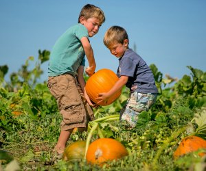 Get in the field and pick your own pumpkin. Photo courtesy of Lyman Orchards