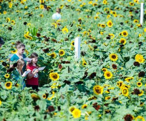 "Kids ""get lost"" in a sunflower maze at Lyman Orchards. Photo courtesy of the orchard"