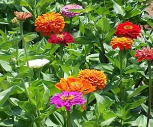 Zinnias in a field at Melick's Town Farm