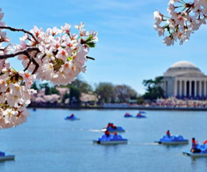 Take out a pedal boat during cherry blossom season. Photo courtesy of  The National Cherry Blossom Festival