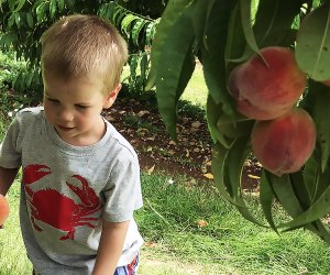 Peach picking with kids at Alstede Farms is a great summer outing. Photo by Rose Gordon Sala